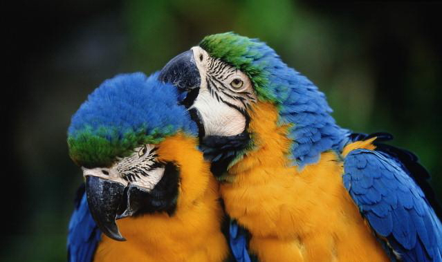 2 blue and gold macaws